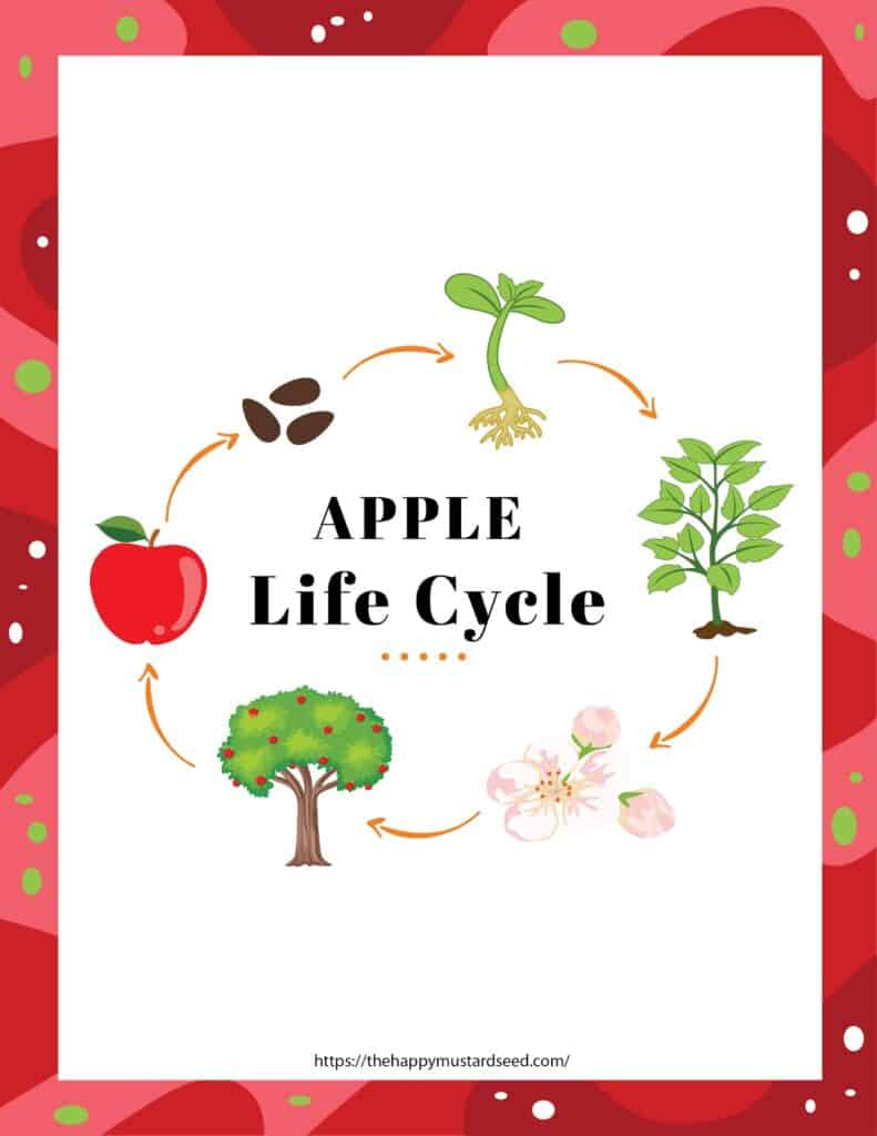 Apple Life Cycle Process for Kids